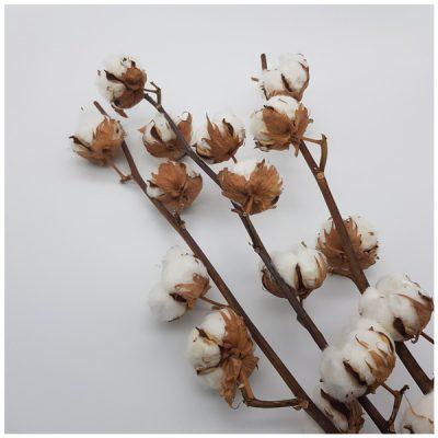 Trockenblumen online bestellen! Baumwolle
